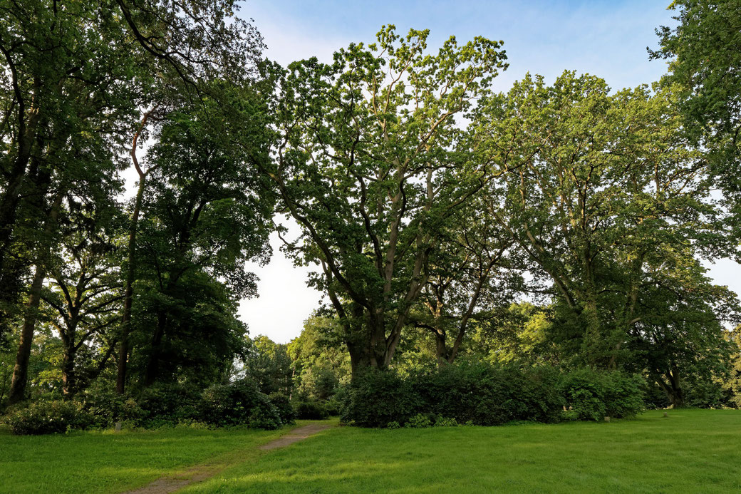 Eiche im Schlosspark Hasenwinkel