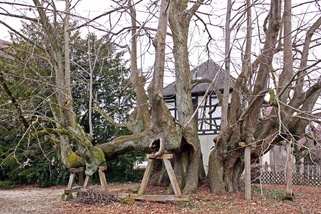 Schlosslinde in Alfdorf