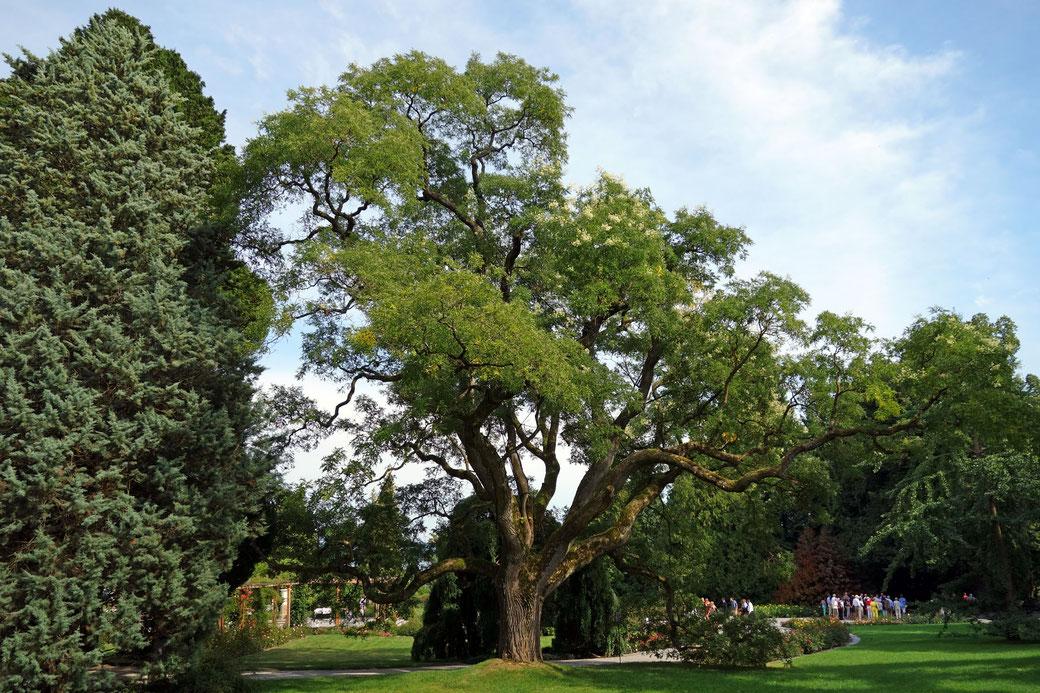 Japanischer Schnurbaum auf der Insel Mainau