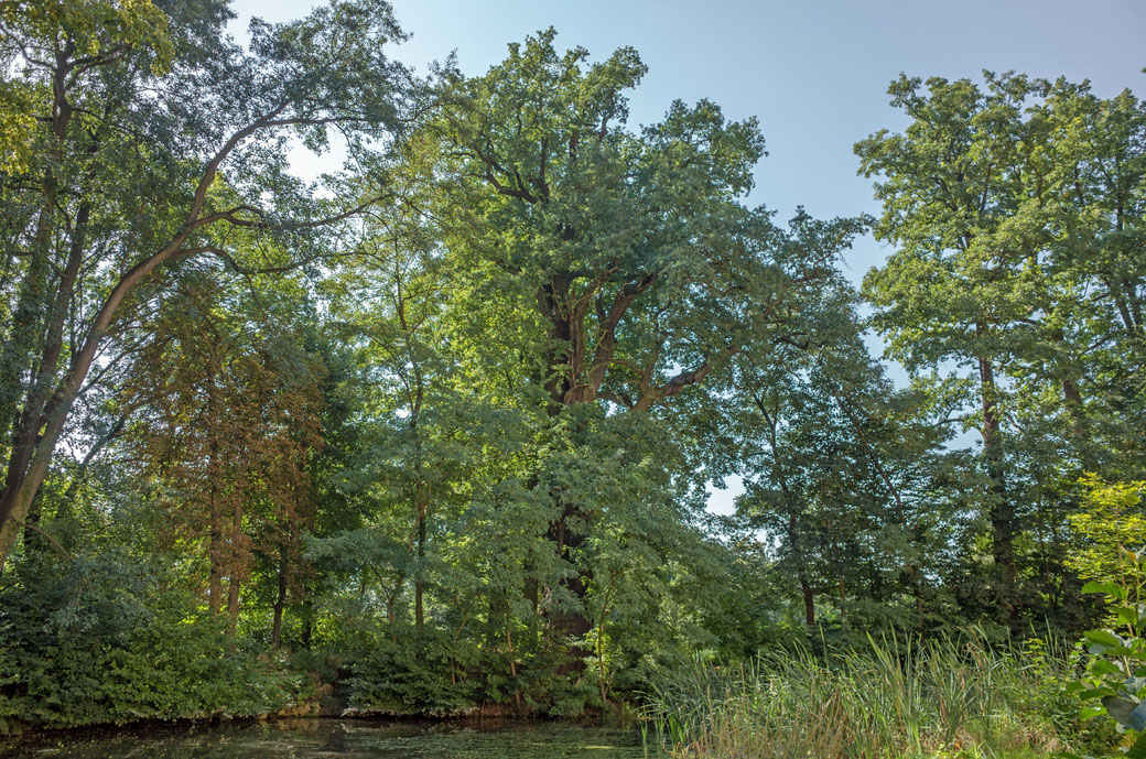 Eiche am Wasserschloss Ebersbach in Eberssbach