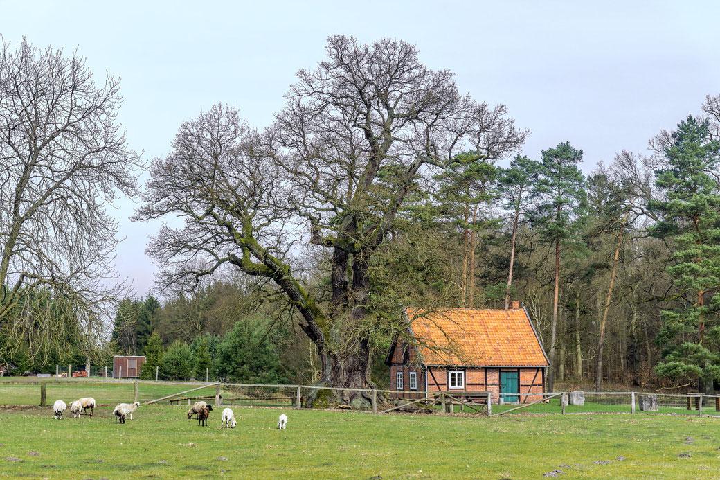 Eiche beim Forsthaus Grüner Jäger bei Stapel