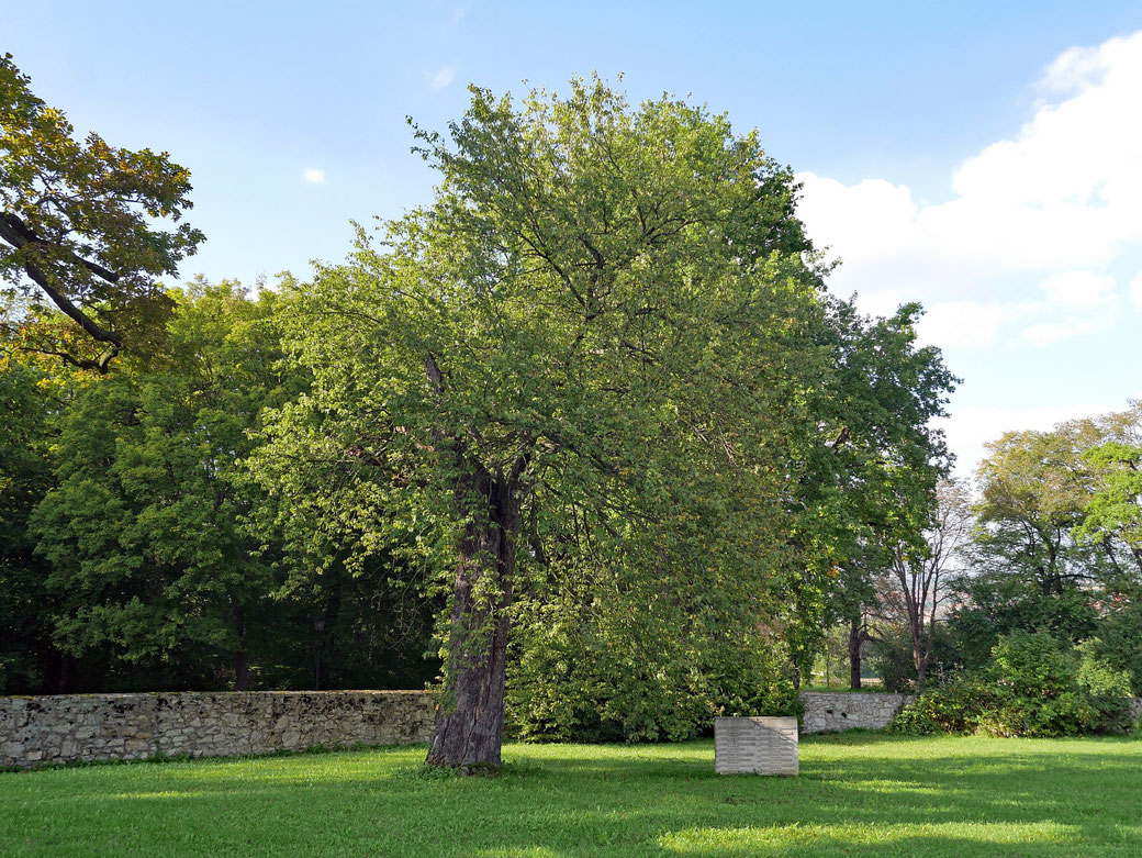 Elsbeere im Schlosspark Belvedere bei Weimar