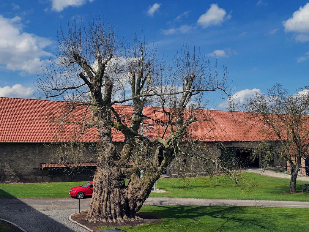Platane im Abteihof in Lamspringe