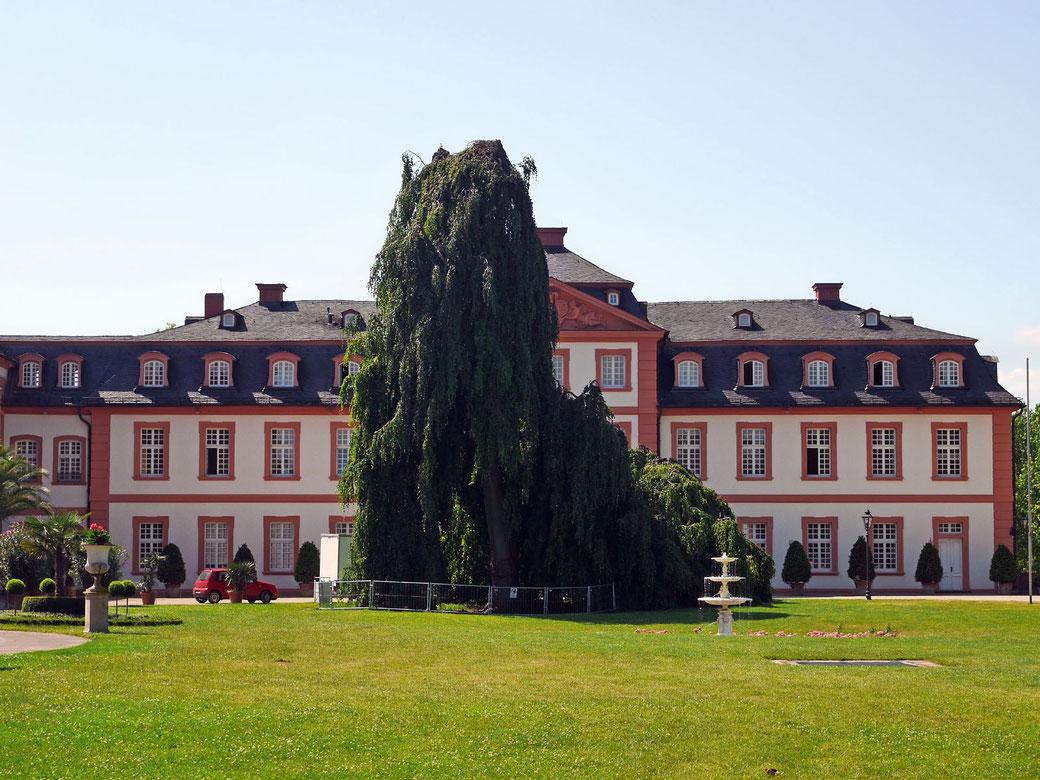 Trauerbuche beim Schloss Bieberich in Wiesbaden
