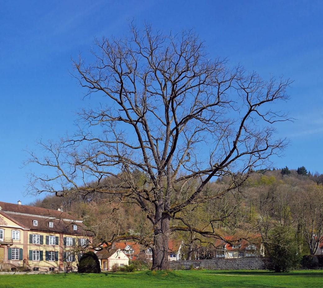Schwarznuss beim Schlosspark Ebnet in Ebnet