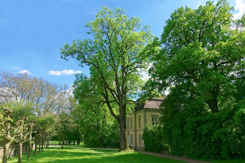 Esche im Schlosspark Werneck in Werneck