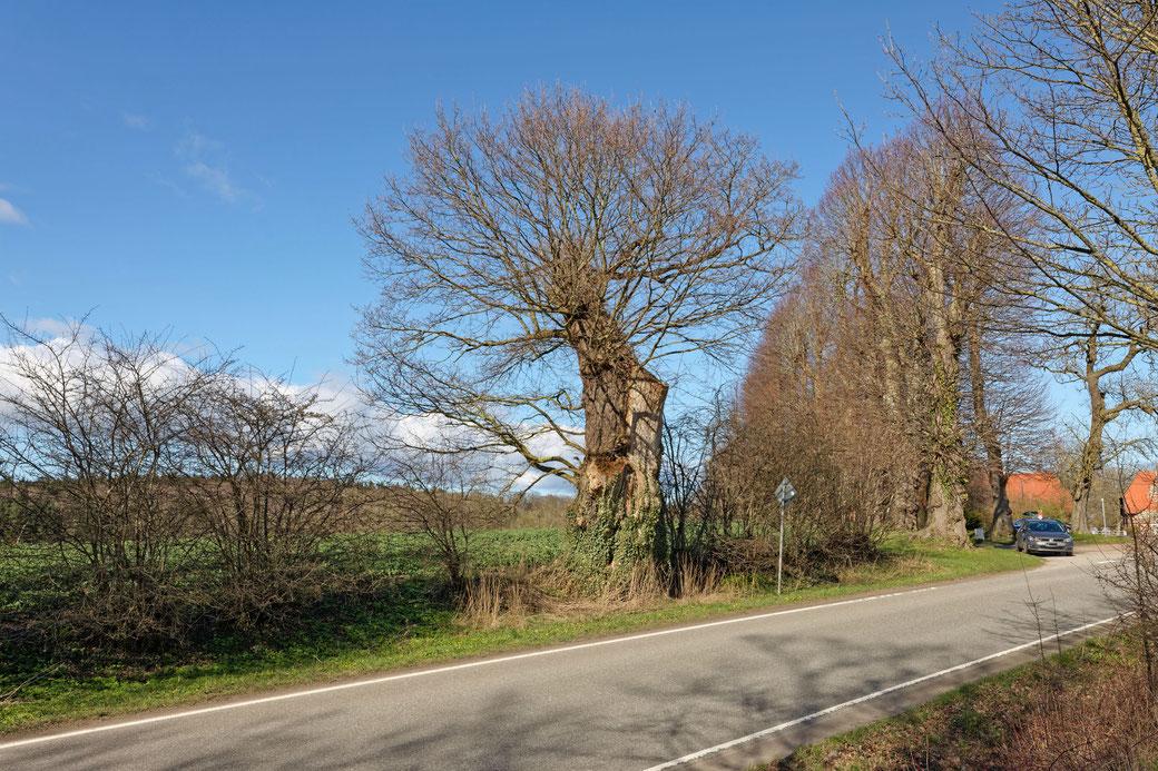 Eiche in der Eichenallee bei Neudorf