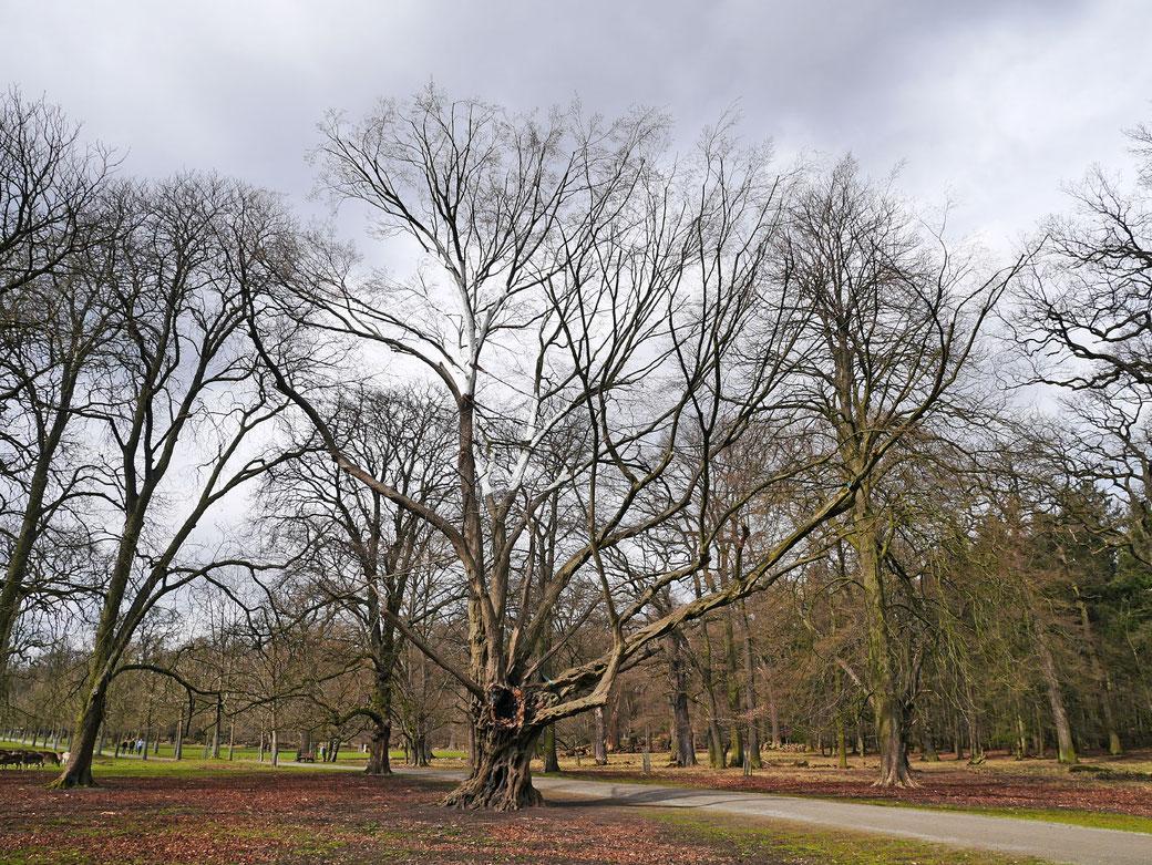 Ludwig-Richter Baum im Tiergarten Kirchrode in Hannover