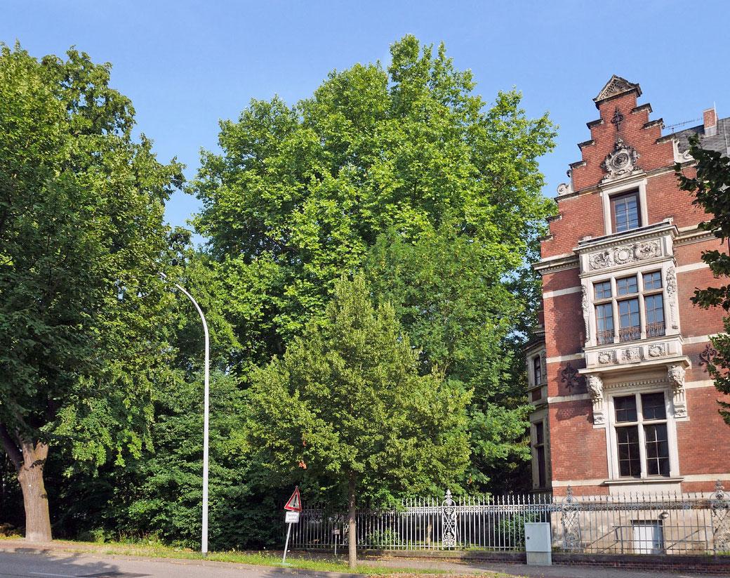 Platane in Dessau