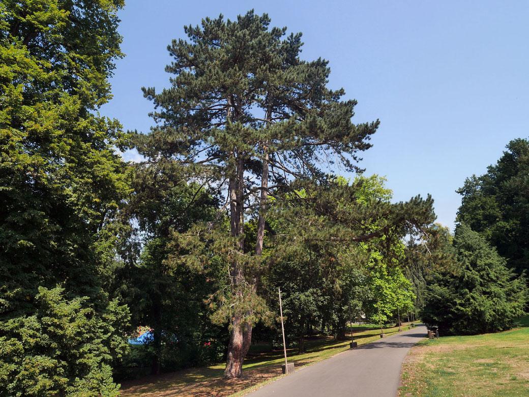 Schwarzkiefer im Schlosspark Laubach in Laubach