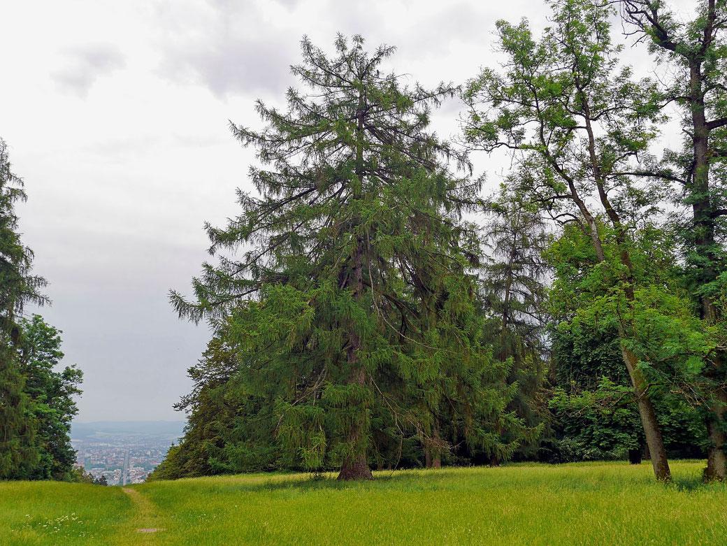 Lärche Im Bergpark Wilhelmshöhe bei Kassel