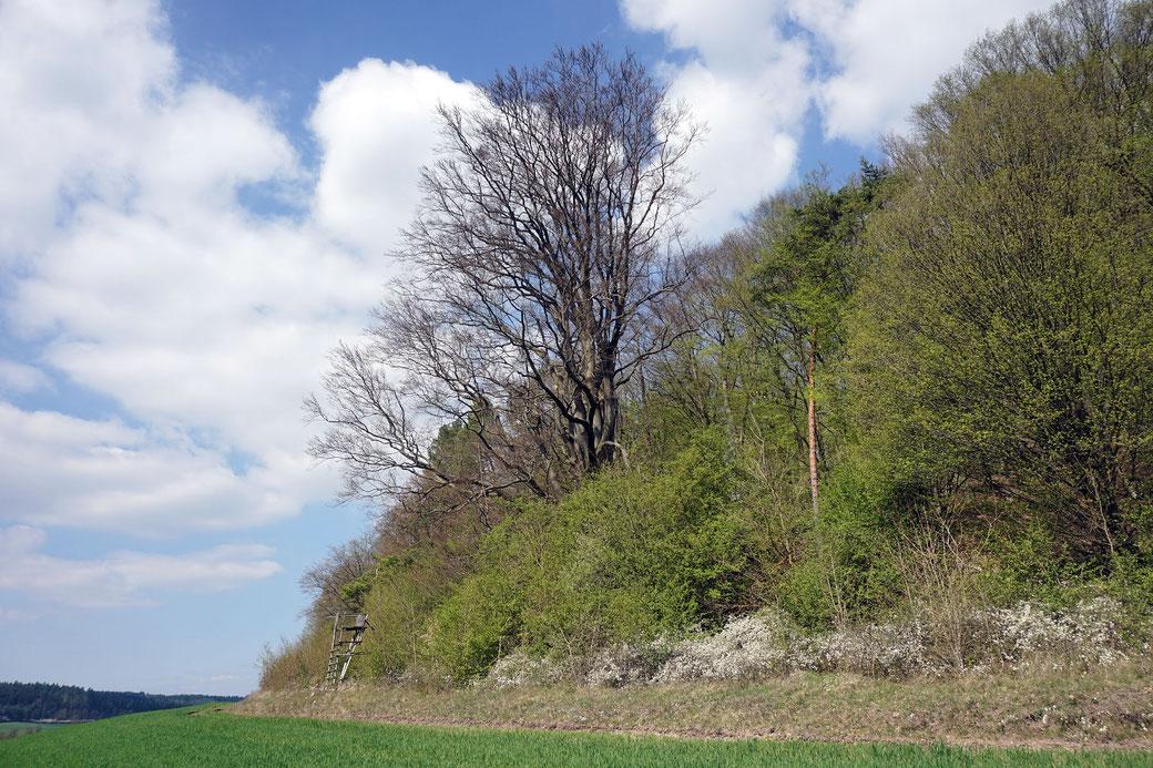 Buche bei Heldburg