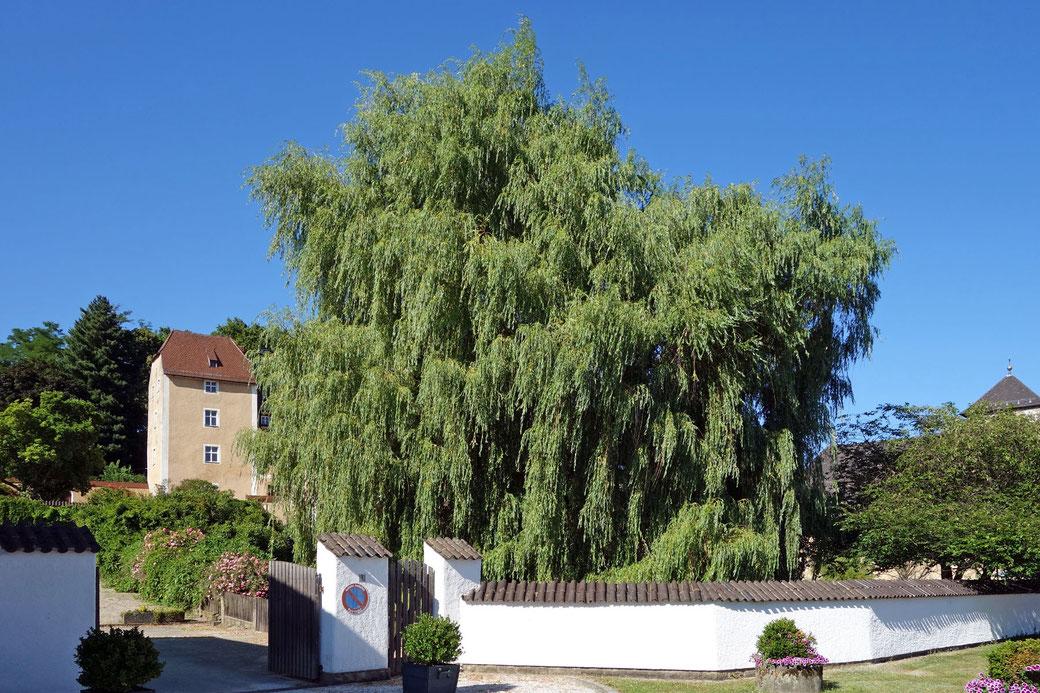 Trauerweide im Schlossgarten in Waffenbrunn
