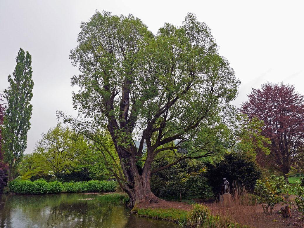Silberweide im alten Botanischen Garten in Marburg