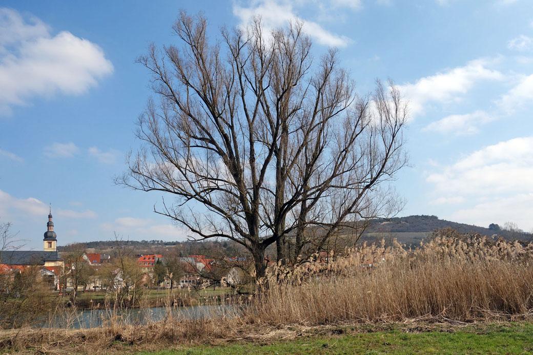 Silberweide beim Kloster Triefenstein bei Triefenstein