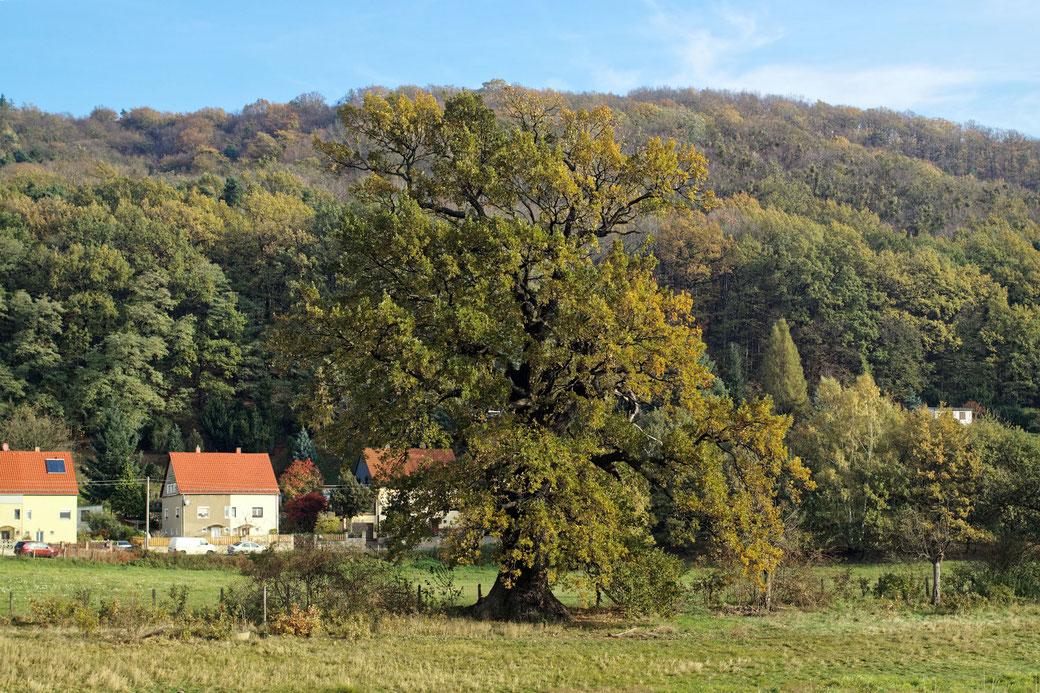 Eichen am Schöpsdamm bei Pillnitz
