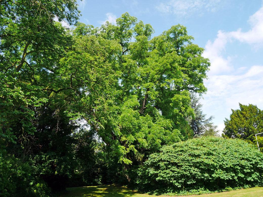 Schwarznuss im Park der Fachhochschule Geisenheim in Geisenheim