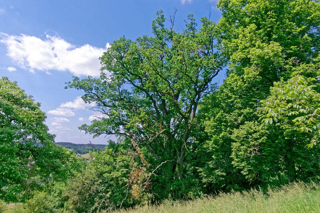 Eiche beim Schloss Sandsee bei Mischelbach