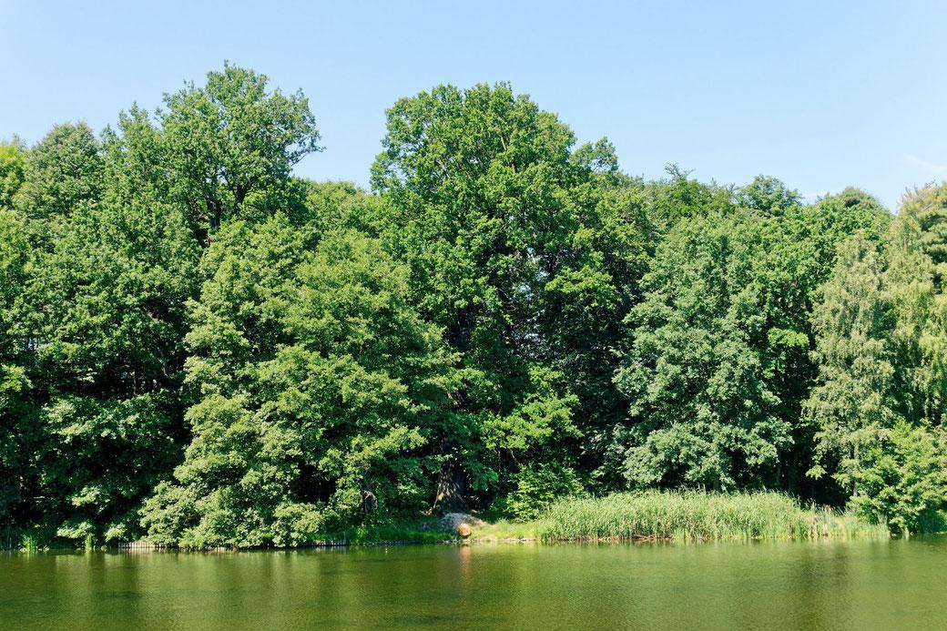 Eiche im Schlosspark Machern bei Machern