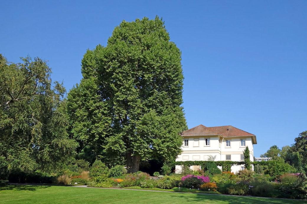 Platane im Hohenheimer Garten in Hohenheim