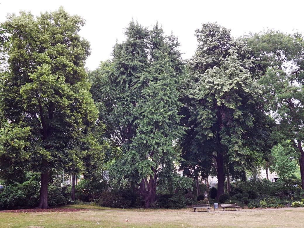 Ginkgo im Bethmannpark in Frankfurt