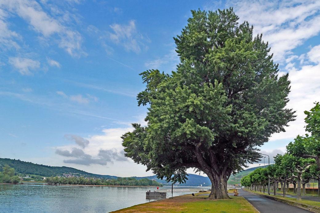 Schwarzpappel bei Rüdesheim am Rhein