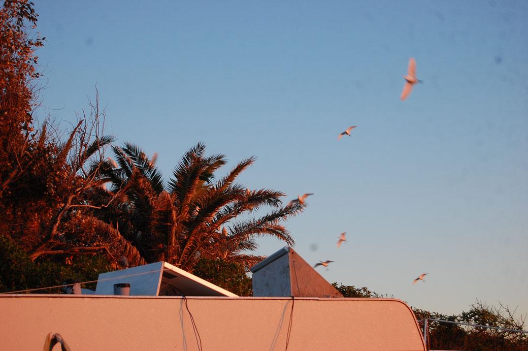 In dieser Palme sammeln sich jeden Abend hunderte Vögel um die Nacht zu verbringen...sehr witzig das Gezeter!