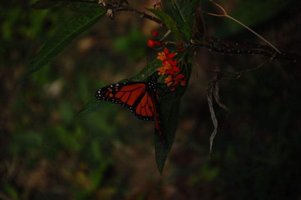 A Butterfly flatters by. Mahlzeit!