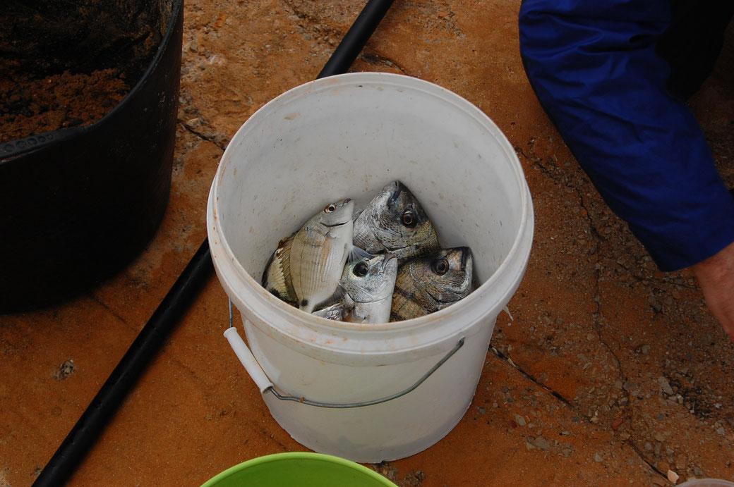 Ganz frisch der Fisch.