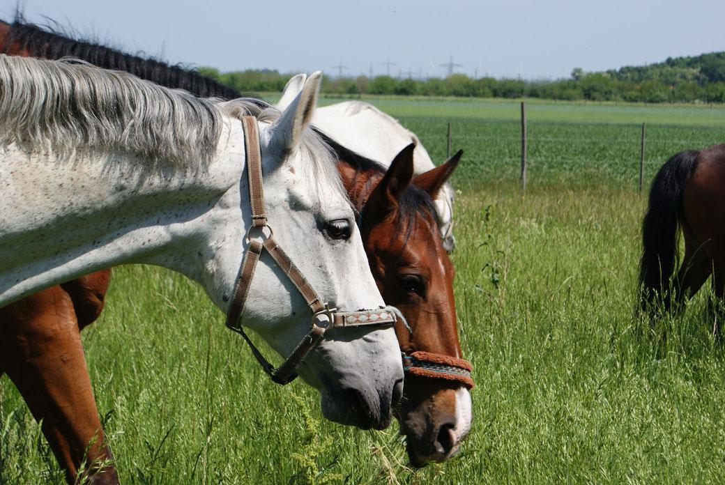Pferde des Reithof Althof