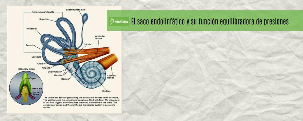 El saco endolinfático y su función equilibradora de presiones.