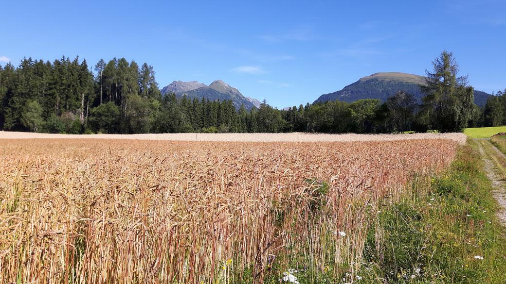 Bio - Dinkel und Bio - Roggen im Jahr 2016 Zankwarn Lungau Mariapfarr Getreide