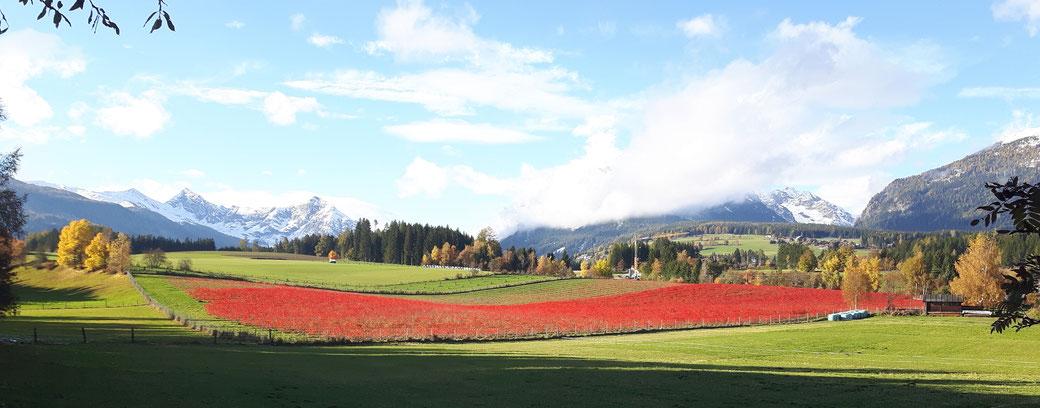 Die Aronia färbt sich im Herbst wunderschön rot.