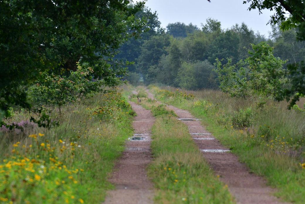 Moorweg mit flüchtendem Hasen