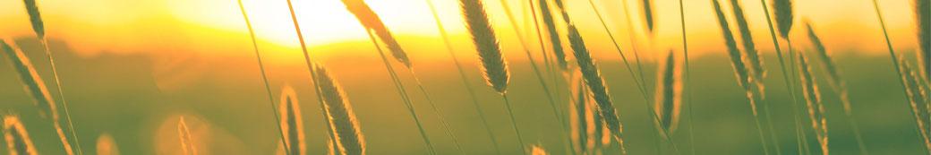 Getreide-Feld