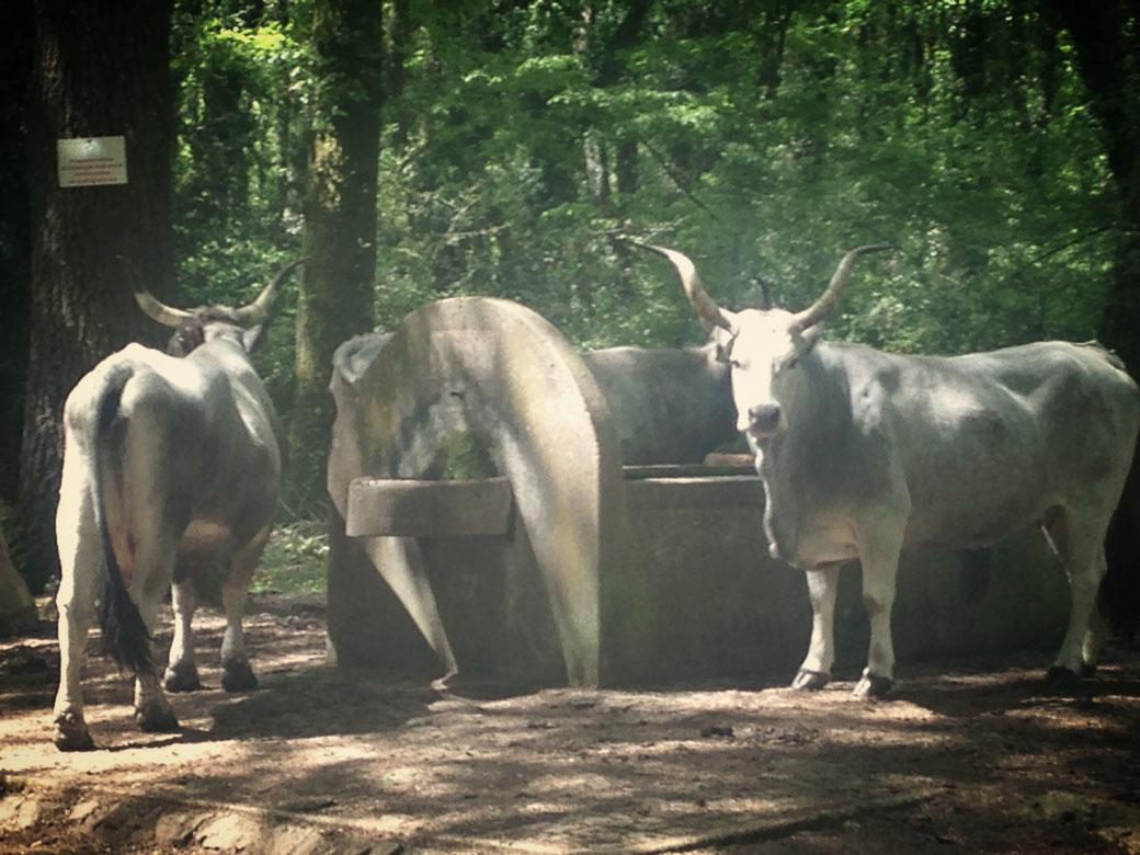 Ganz schön imposant - die frei lebenden Rinder im Bosco Macchia Grande in Manziana