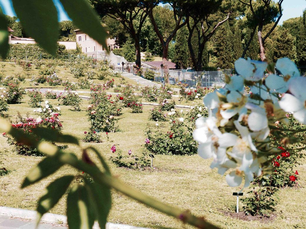 Blühende Sehenswürdigkeit in Rom - Der roseto comunale , der römische Rosengarten