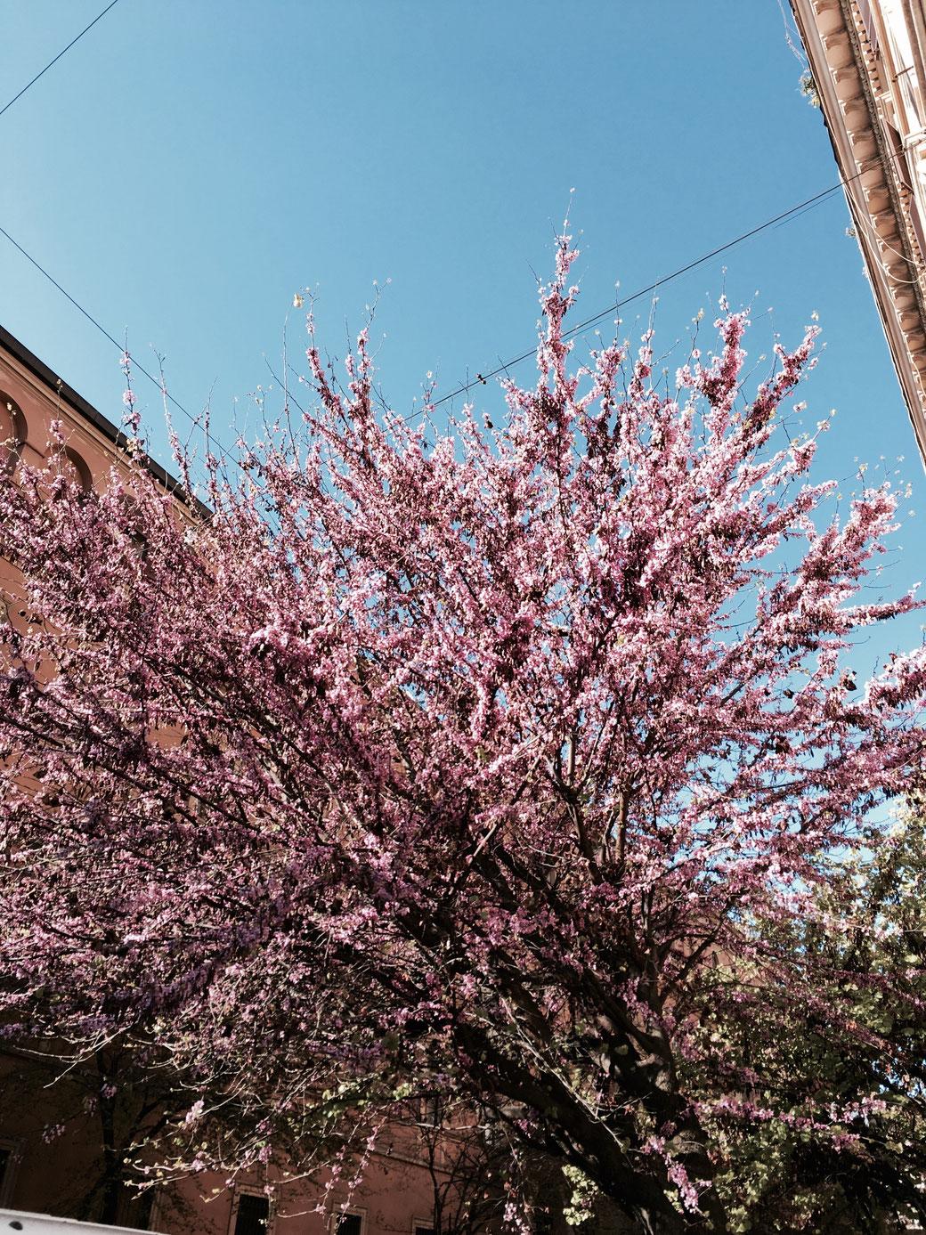 Frühling in Rom - Nicht nur auf den HOT SPOTS der Stadt blüht es. Auch in den Straßen wird es an den Bäumen herrlich bunt.