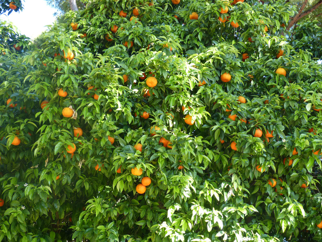 Orangen im Orangengarten auf dem Aventin.