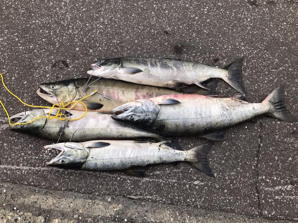 網走での趣味(釣り)写真1(釣れた鮭)