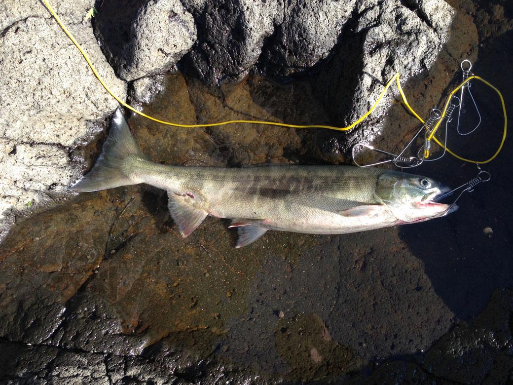 網走の趣味(釣り)写真7(釣れた鮭)