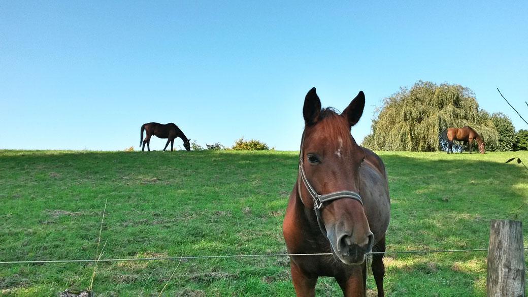 """Pferdekoppeln hießen im Mittelalter """"Rossaue"""" - daher drei Pferdeköpfe im Wappen der mittelalterlichen Stadt Orsoy"""