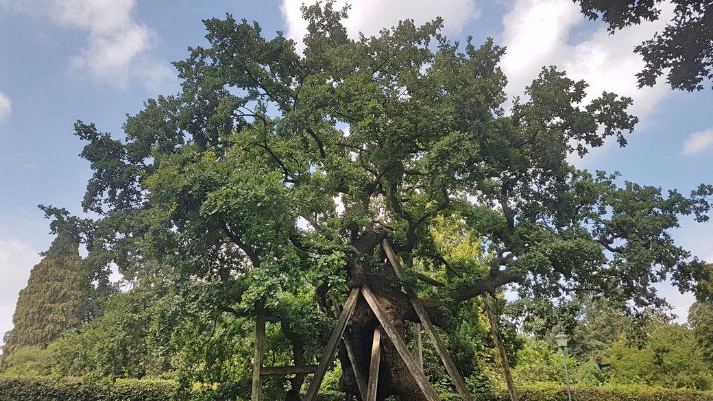 Eines der ältesten Lebewesen Deutschlands: die 1.100-1.300 Jahre alte Femeiche in Erle ist ein einmaliges Naturdenkmal