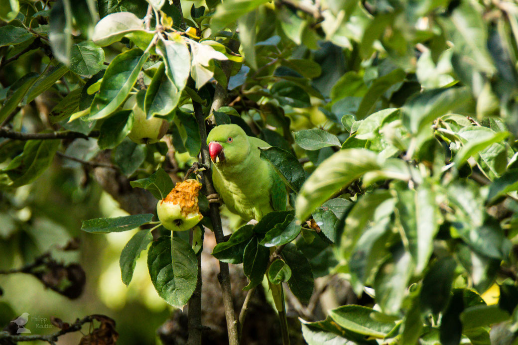 Halsbandsittich im Baum mit Apfel