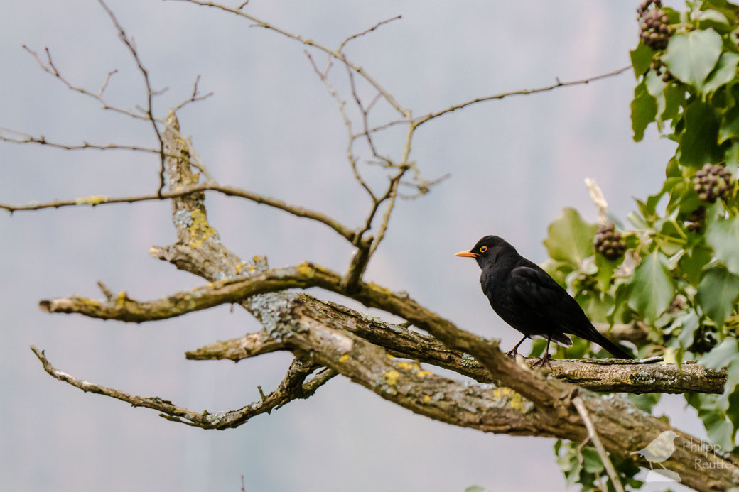 turdus merula, Amsel, blackbird