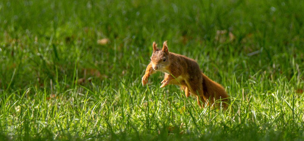 Eichhörnchen im Sprung auf der Suche nach Nüssen für den Winter (Sciurus vulgaris)