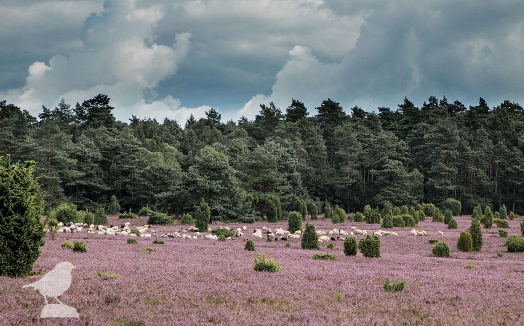 Heidschnucken auf den blühenden Heidefeldern