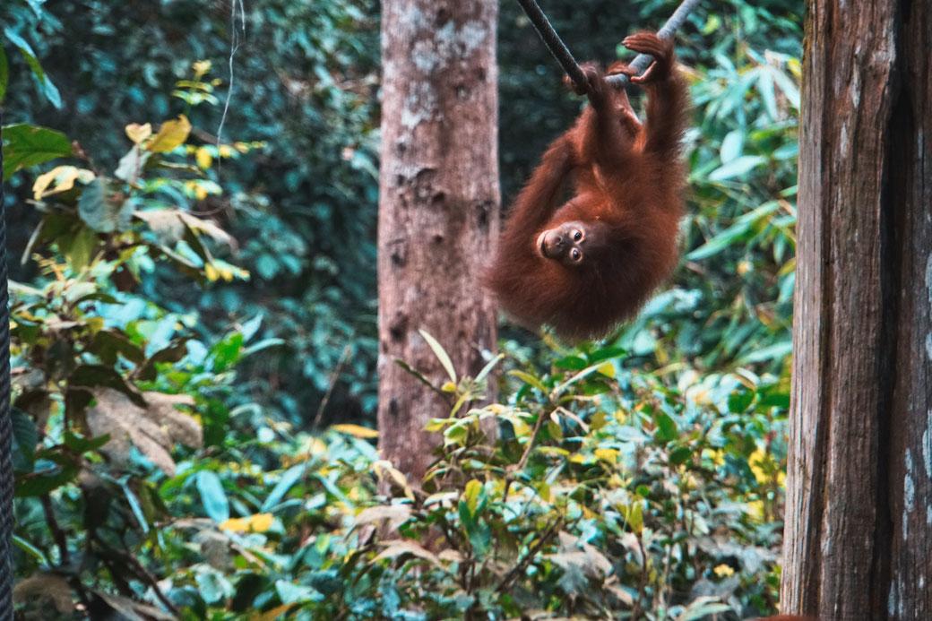 Ein Orang Utan  klettert an einem Seil durch den Dschungel