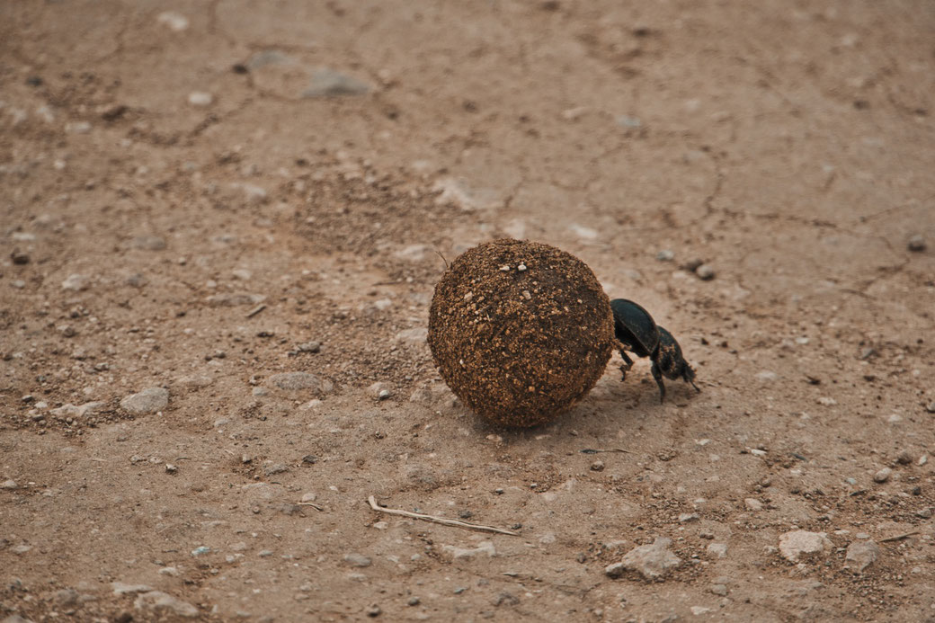 Mistkäfer rollte auf sandigem Boden eine runde Kugel aus Elefanten Kot