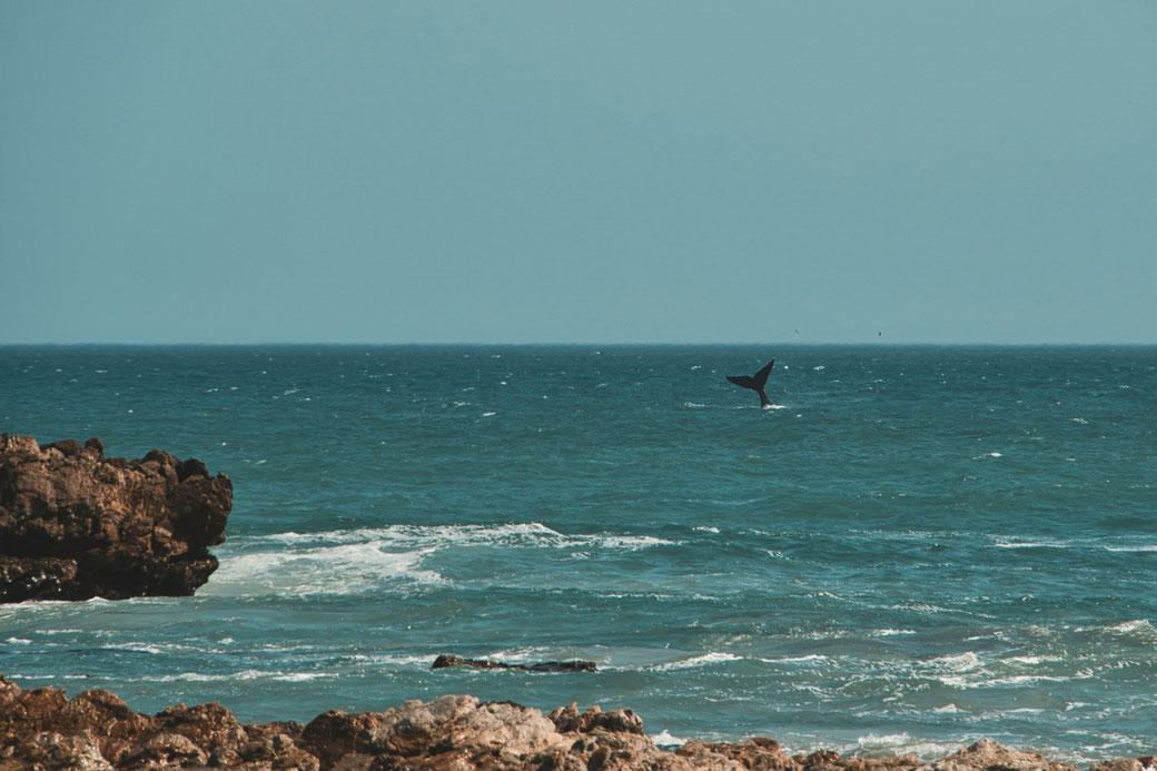 Eine Walflosse taucht aus dem Meer auf
